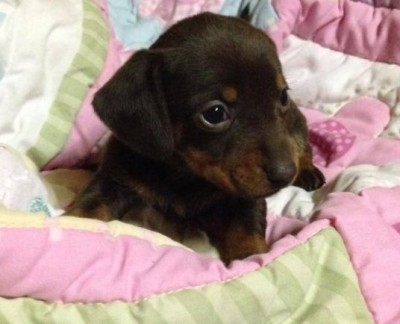 Adorable Chocolate and Tan Smooth Coat Dachshund Puppy 2