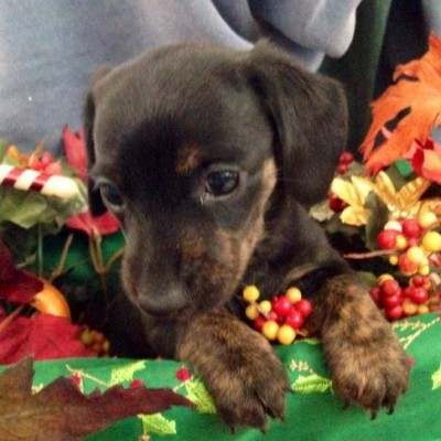 Beautiful Photo Of A Brindle Smooth Coat Mini Dachshund Dog