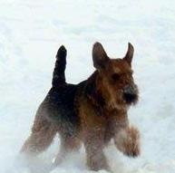 Hunter Purebred CKC Airedale Terrier Dog From Ingle Valley Airedale Terriers Ontario Canada