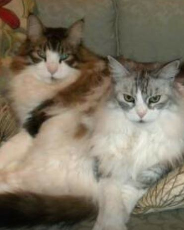 Maine Coon Cat Breeders In Upstate New York – JOBEA Maine Coons