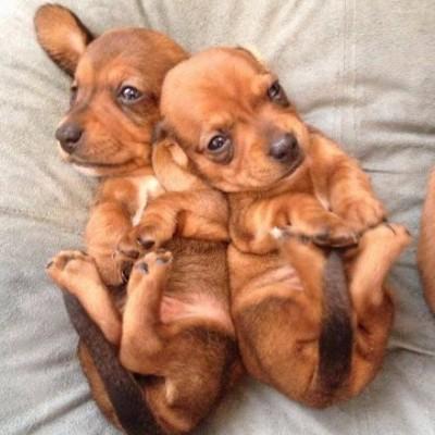 Pair Of Cute Tan Mini Dachshund Puppies