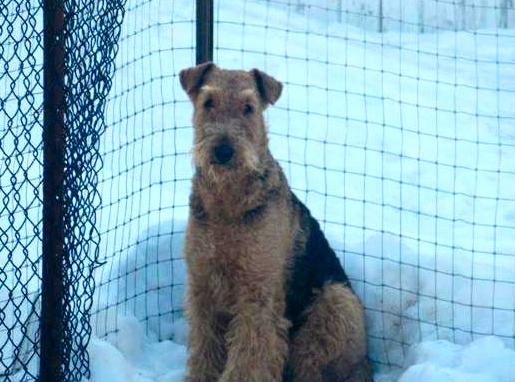Purebred CKC Airedale Terrier Dog From Ingle Valley Airedale Terriers Ontario Canada 2