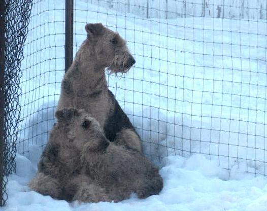 Airedale Terrier Breeders In Ontario
