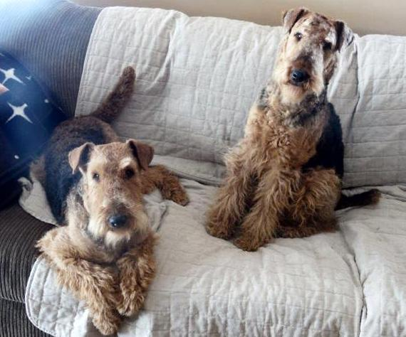 Purebred CKC Airedale Terrier Dog From Ingle Valley Airedale Terriers Ontario Canada 4