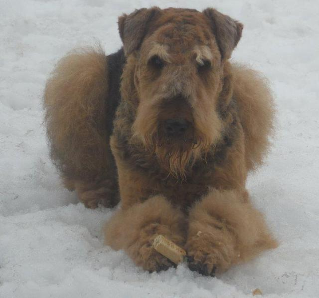 Purebred CKC Airedale Terrier Dog From Ingle Valley Airedale Terriers Ontario Canada