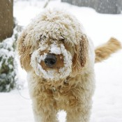 Goldendoodle Breeders Minneapolis MN – Red Cedar Farm Goldendoodles