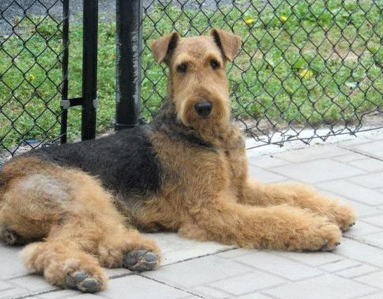 Serena Purebred CKC Airedale Terrier Dog From Ingle Valley Airedale Terriers Ontario Canada