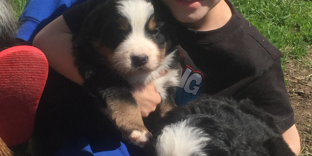 Shadow Ridge Bernese Mountain Dog Puppies Elk WA Bernese Breeders