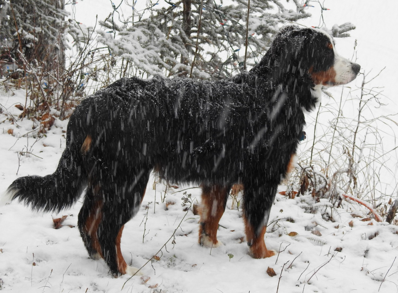 Bernese Mountain Dog Breeders Archives Breeders Showcase