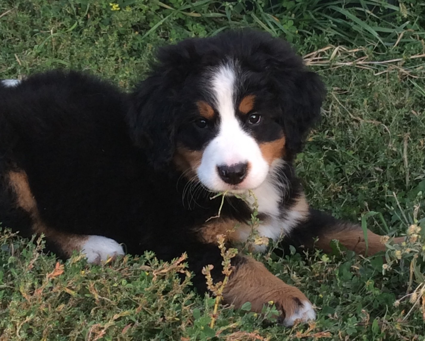 Shadow Ridge Bernese Mountain Dogs Breeders Showcase