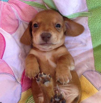 Sweet Tan Smooth Coat Mini Dachshund Pup