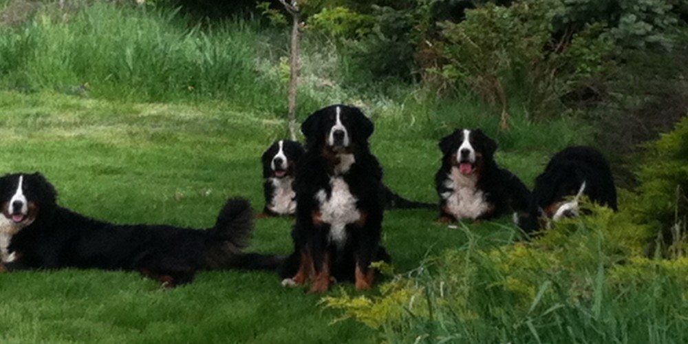 Spokane Area Bernese Mountain Dog Breeders
