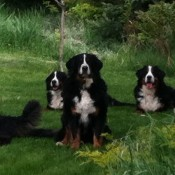 Shadow Ridge Bernese Mountain Dogs