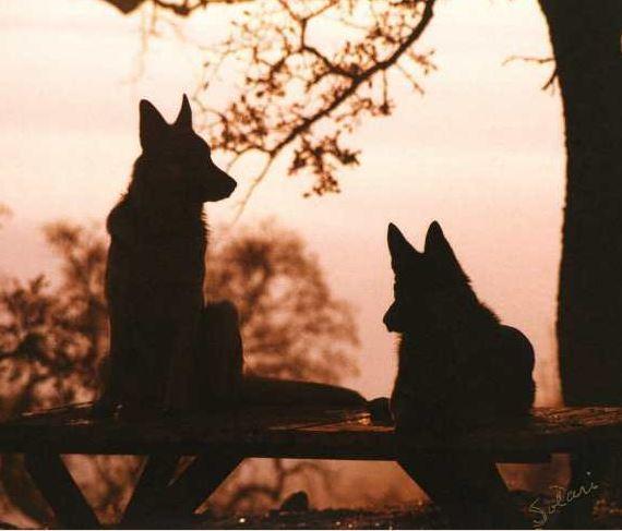 hinterland german shepherds in angels camp ca 4